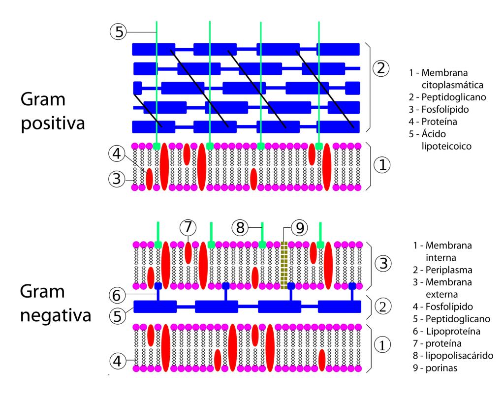 Pared celular bacteriana: Gram negativa vs Gram positiva