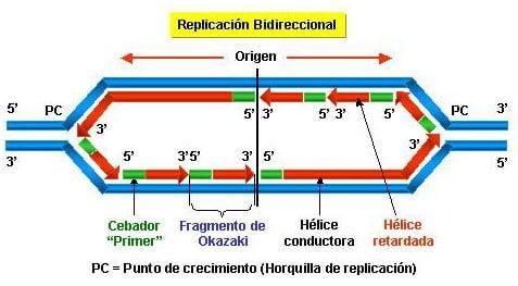 Replicación bidireccional del ADN
