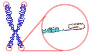 Dibujo esquemático de un telómero en un cromosoma
