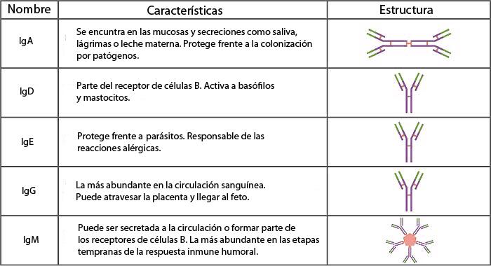 Tipos de anticuerpos en el sistema inmune humano (tabla)