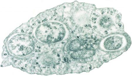 Wolbachia en una célula de insecto