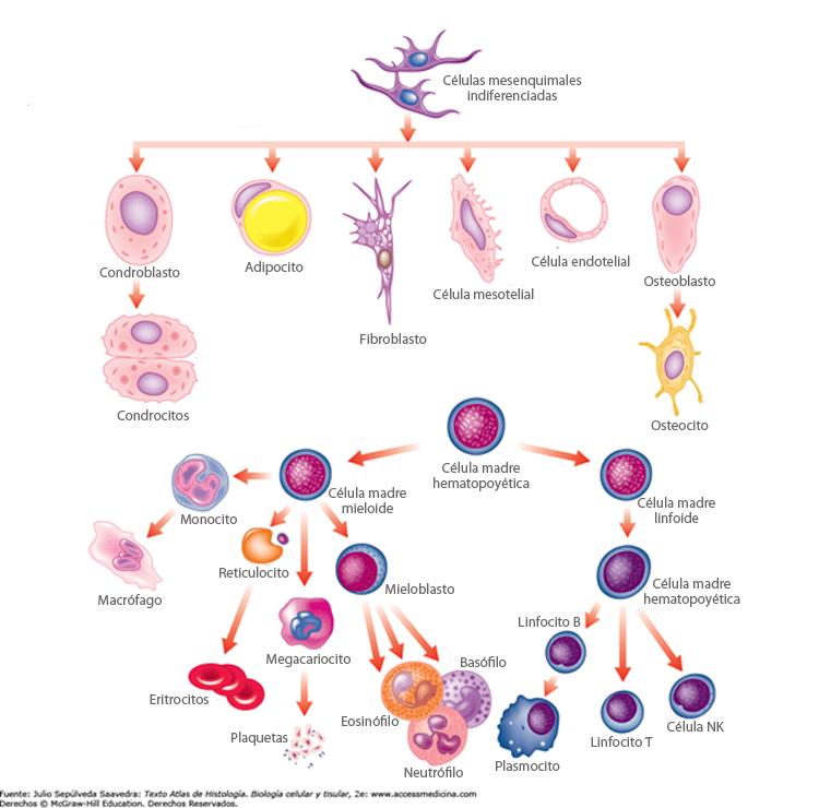 Células del tejido conectivo