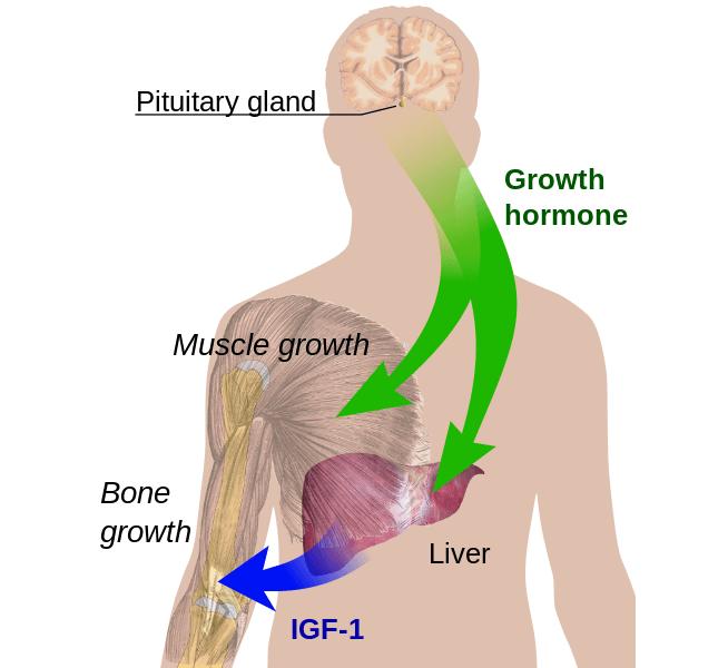Principales efectos de la hormona del crecimiento