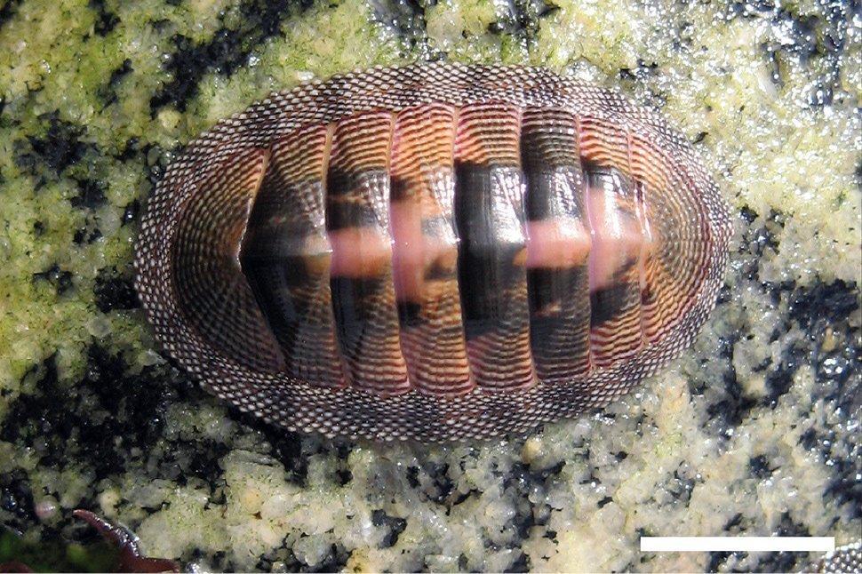 Chiton cumingsii, la cucaracha de mar