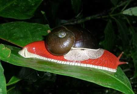 Indrella ampulla, caracol tropical