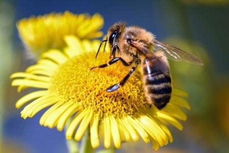 Las abejas promueven la xenogamia