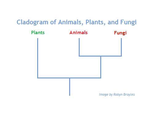 Cladograma evolutivo de animales, hongos y plantas