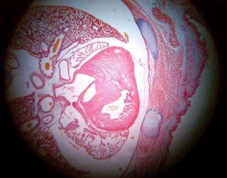 Corte de tejido embrionario de ratón