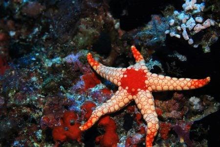 Una estrella de mar (especia Fromia monilis)