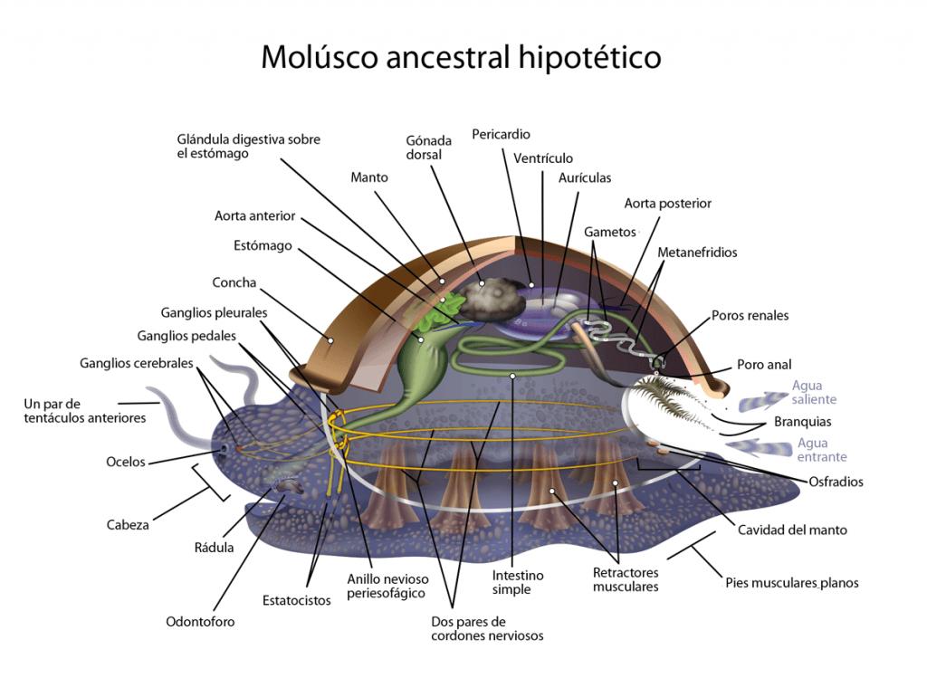 Anatomía modelo de un molusco