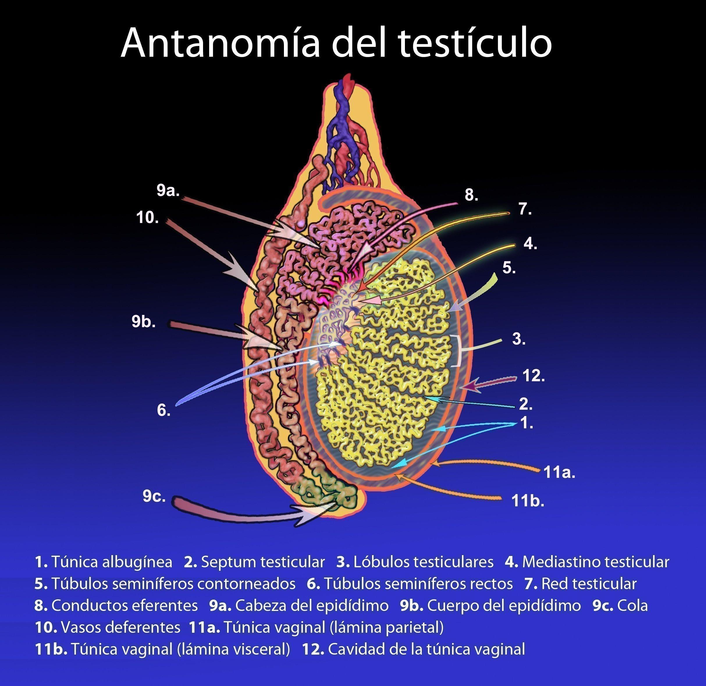 Qué Es La Túnica Vaginal Curiosoando