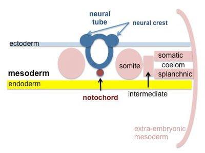 Esquema: partes del mesodermo