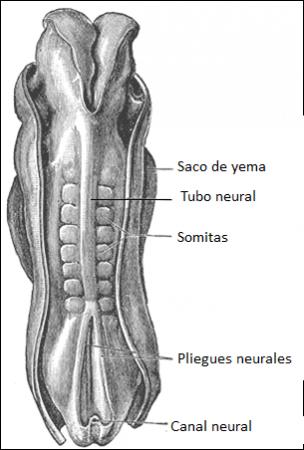 Somitas en un embrión humano (ilustración)