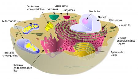 Esquema de una célula animal típica
