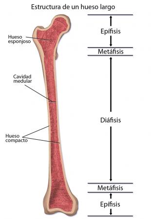 Estructura de un hueso largo