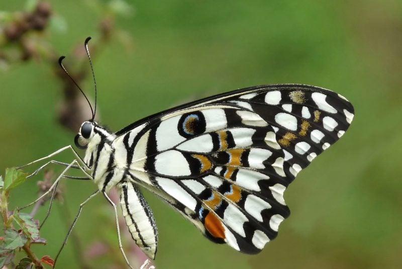 Mariposa Papilio demoleus