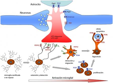 Activación de la microglía