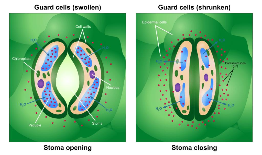 Función de las células oclusivas de los estomas