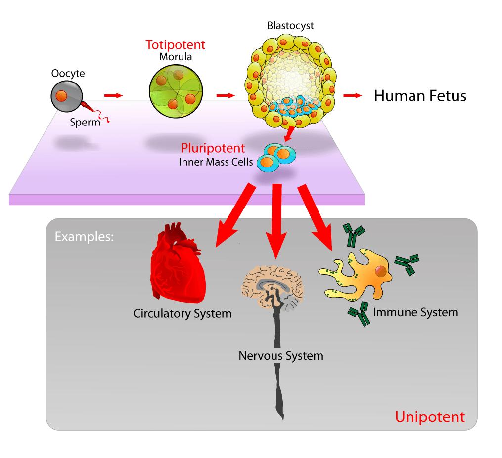 Células madre y potencia celular