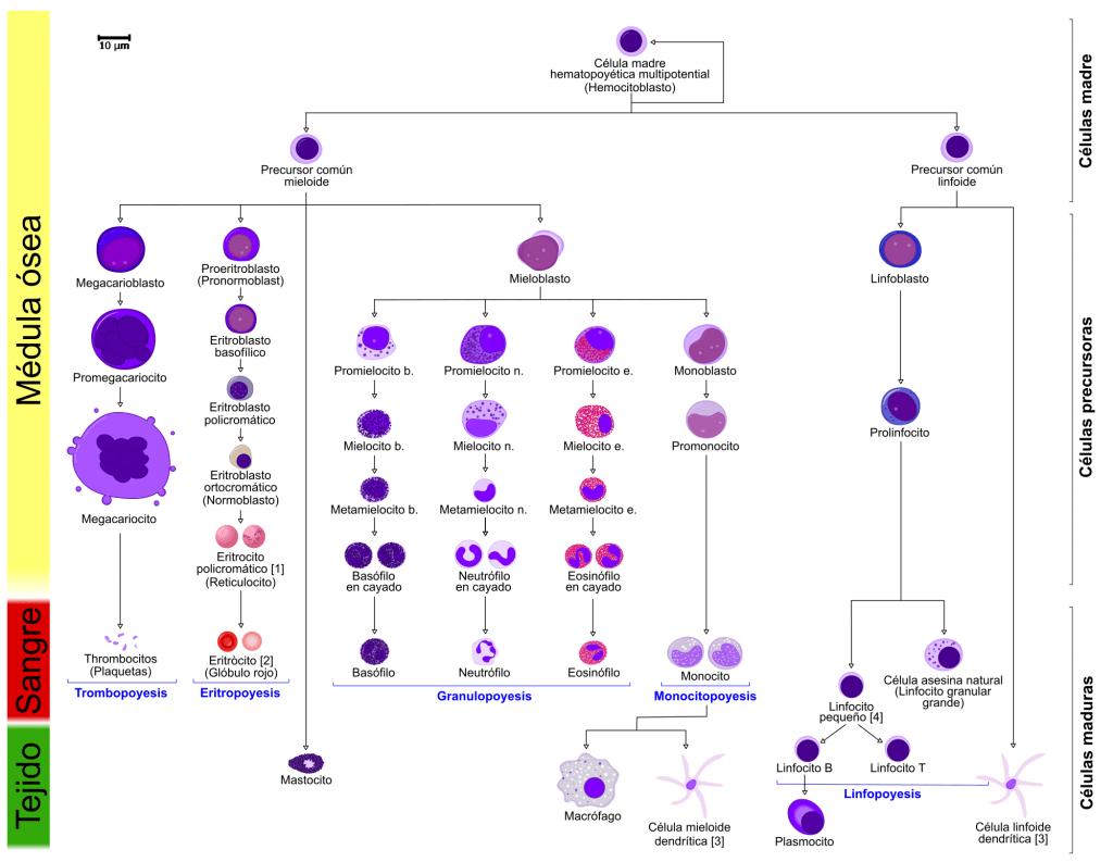 Células multipotentes en la hematopoyesis