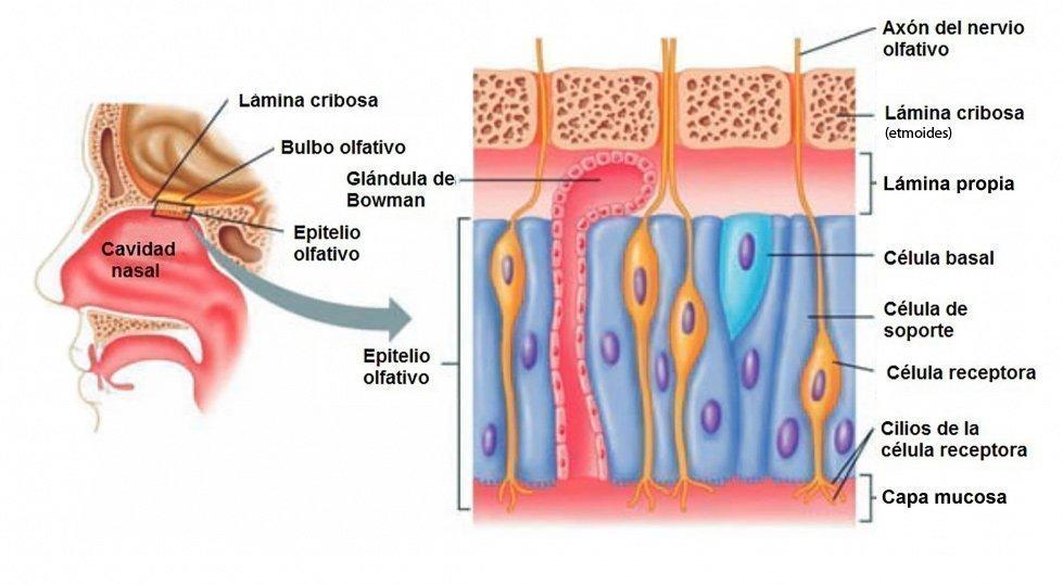 Estructura del epitelio olfatorio