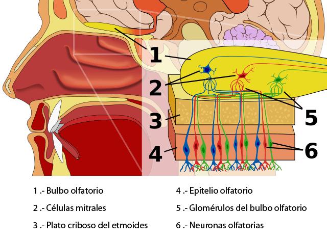 Esquema del epitelio y bulbo olfatorio
