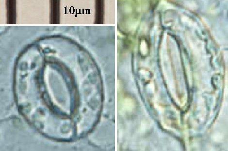Estomas y células de guarda al microscopio