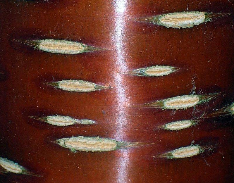 Lenticelas en el tallo de una planta