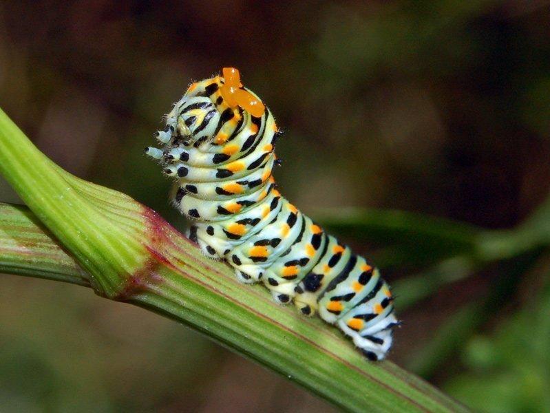Oruga de mariposa (Papilio machaon)