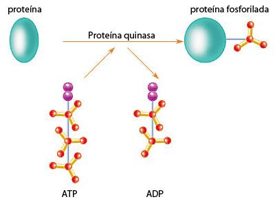 Función de las proteína quinasas