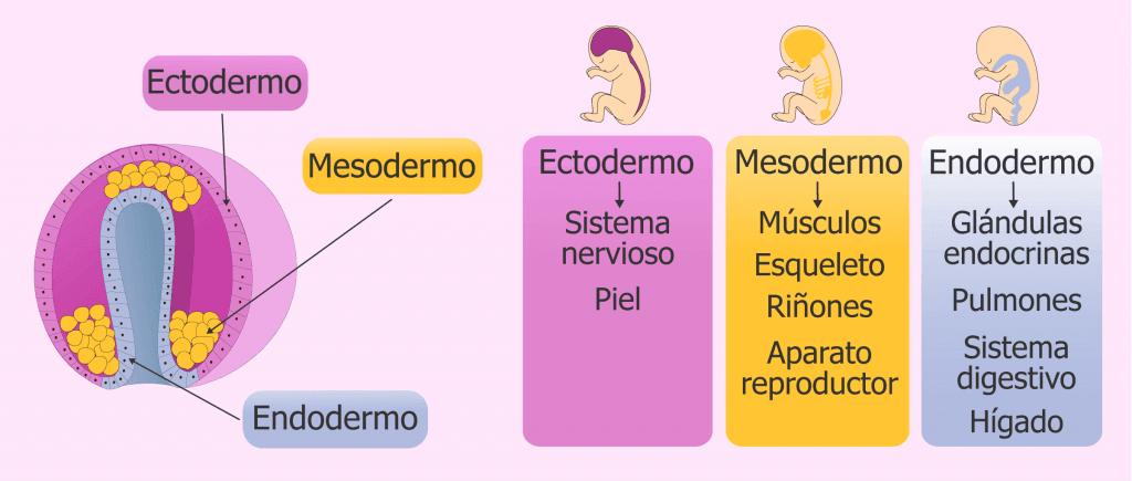 Capas germinativas y organogénesis