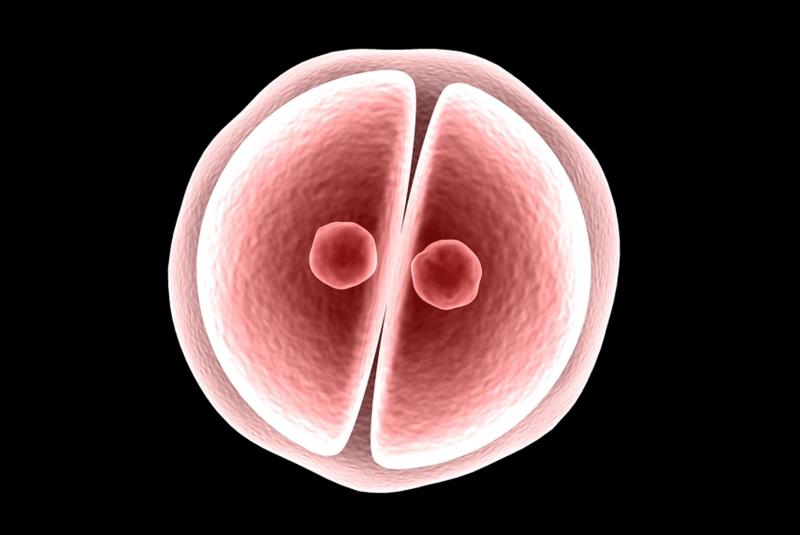 A partir del cigoto se forma el embrión
