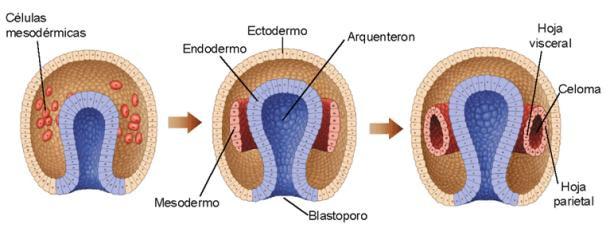 Formación de las tres capas germinativas
