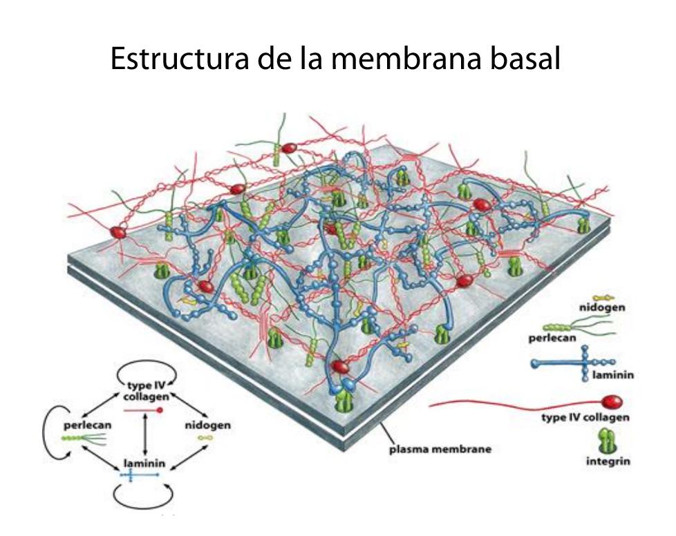 Estructura de la membrana basal