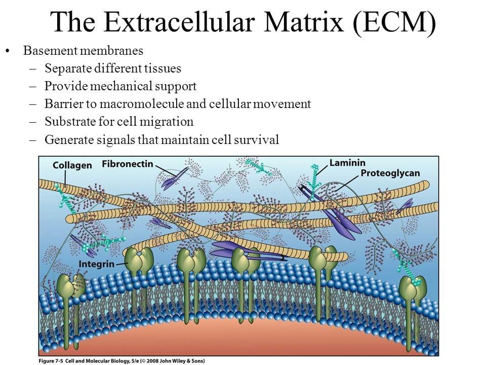 Integrinas en la adhesión celular a la matriz extracelular