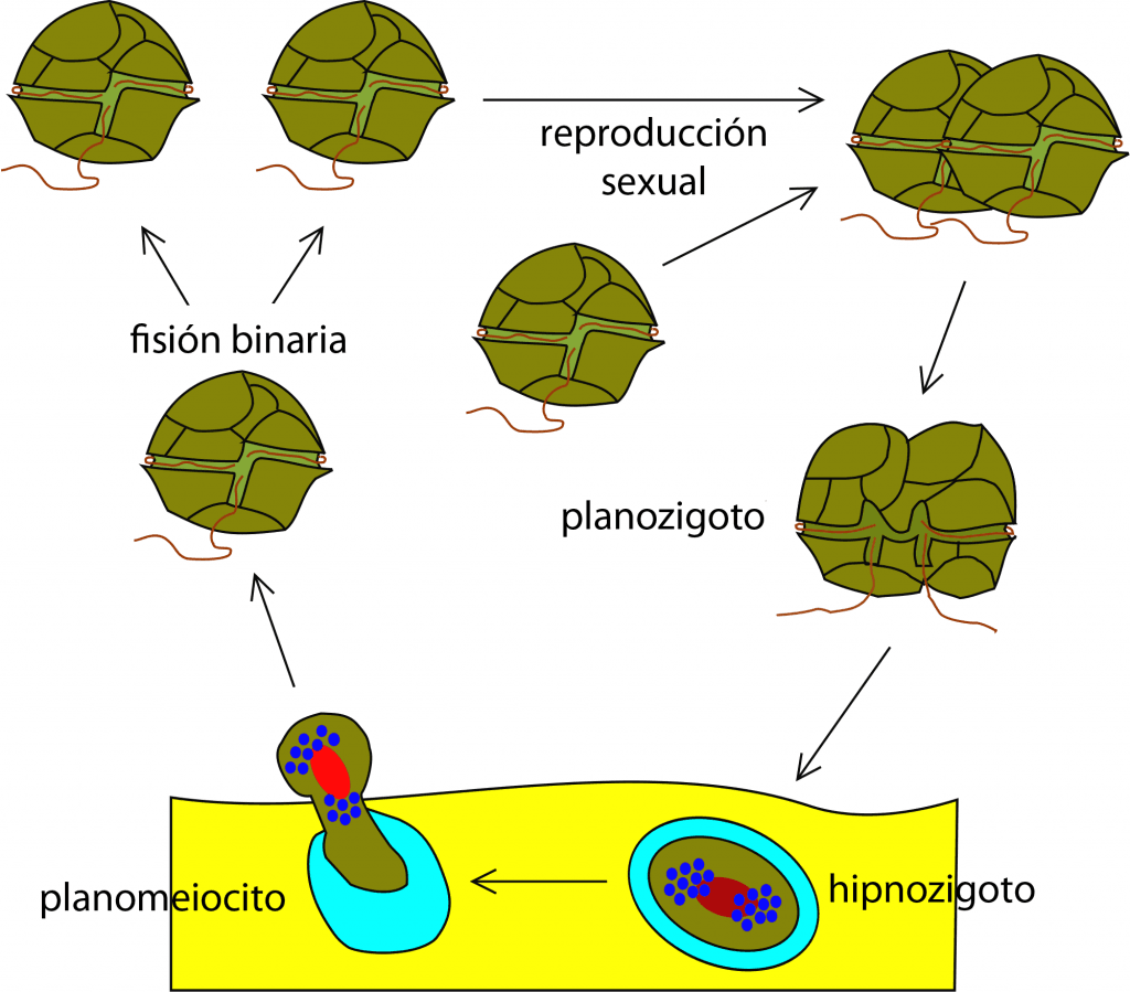 Ciclo de vida de los dinoflagelados