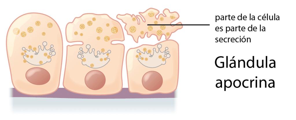 Ejemplo de glándula apocrina