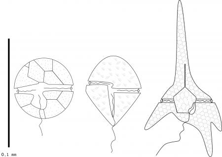 Esquema de tres especies de dinoflagelados