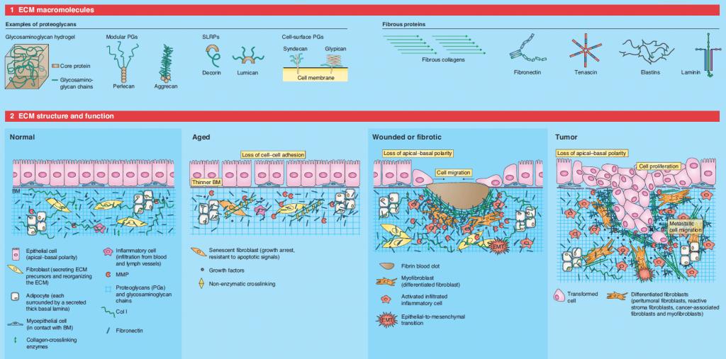 Estructura y composición de la matriz extracelular