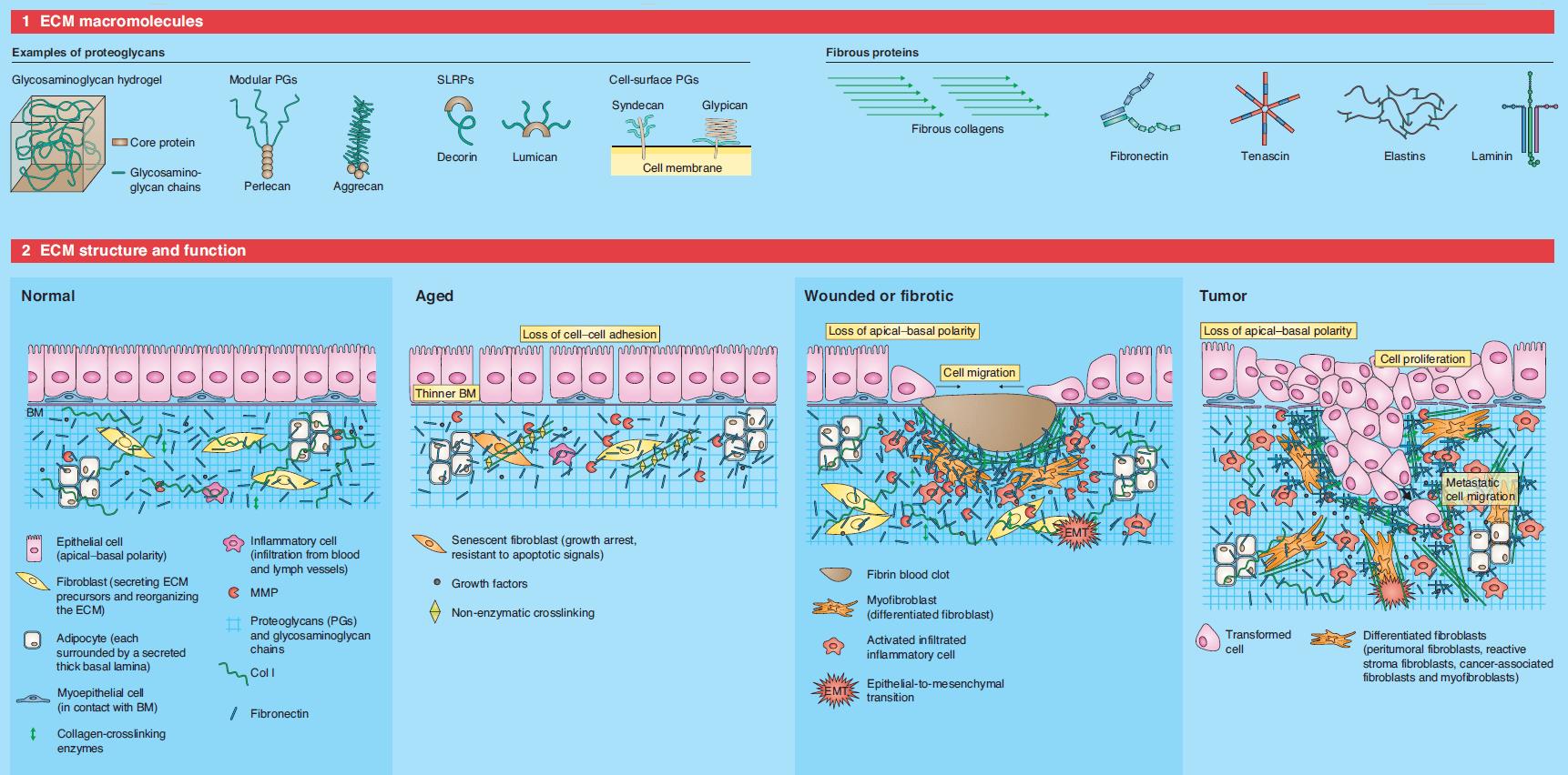 Qué Es La Matriz Extracelular Composición Estructura Y