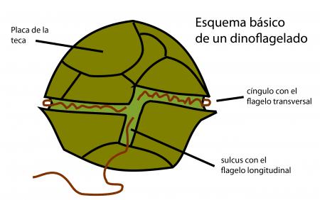Estructura básica de un dinoflagelado