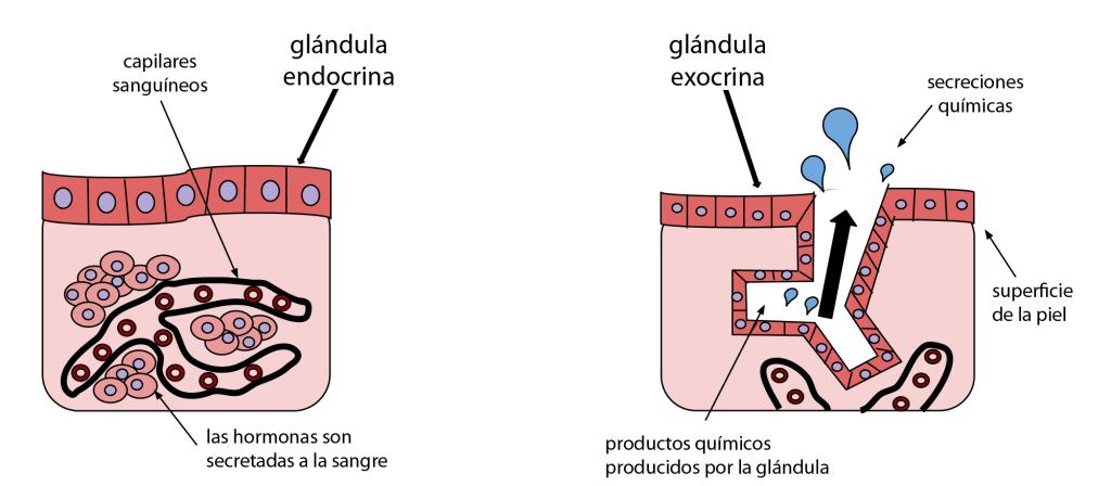Glándulas endocrina vs glándula exocrina
