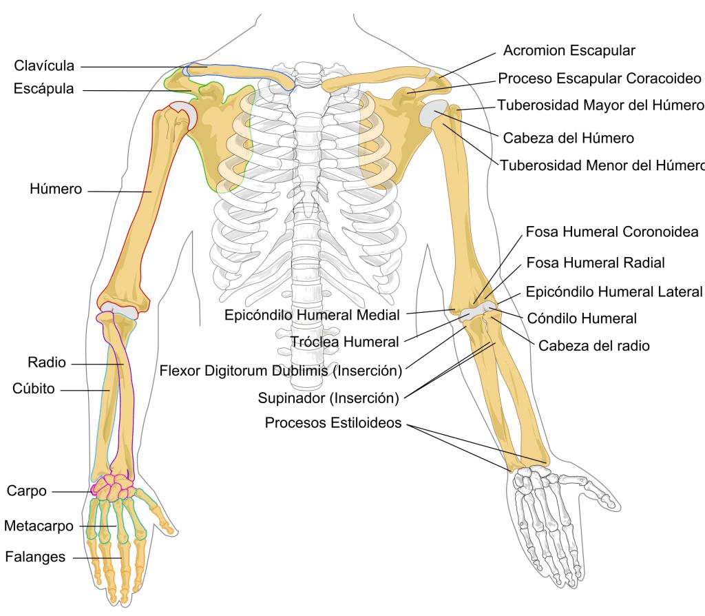 Cuáles Son Los Huesos Del Brazo Y Antebrazo Curiosoando