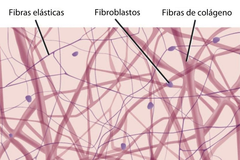 Fibras del tejido conectivo