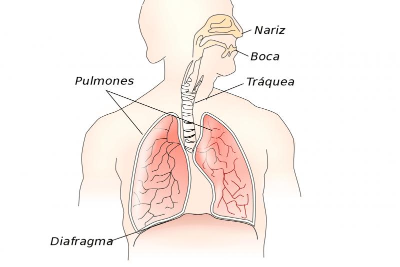 El diafragma en el sistema respiratorio