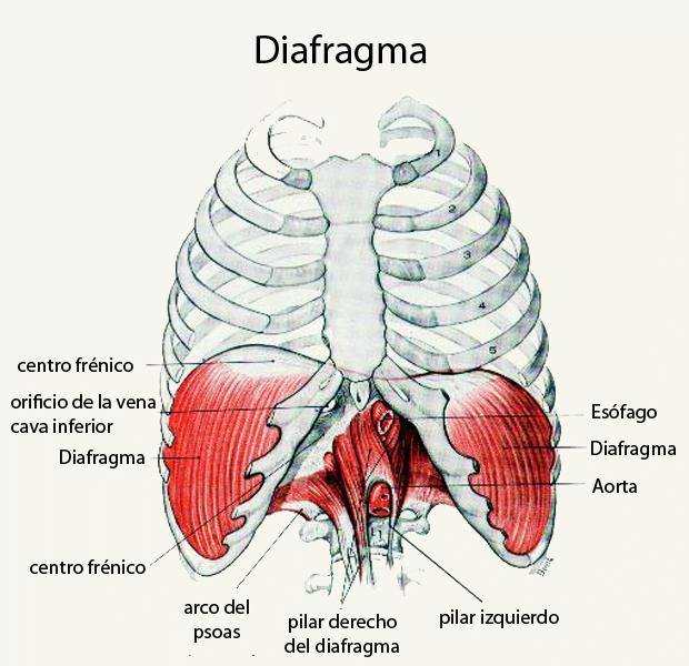 El diafragma