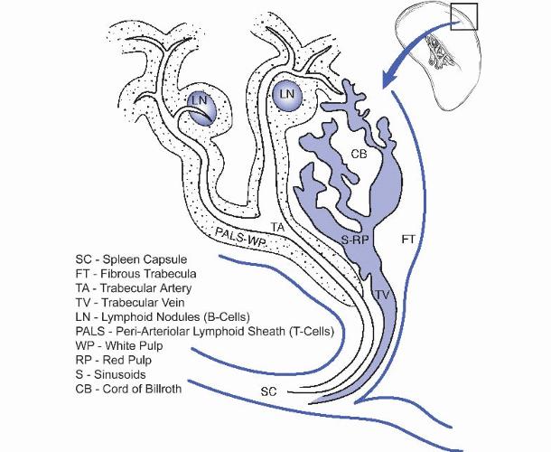 Esquema del bazo con los cordones de Billroth