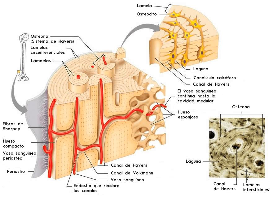 Estructura del tejido óseo compacto y esponjoso
