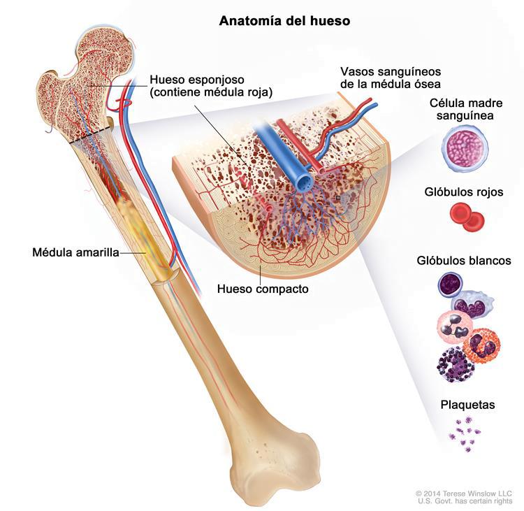 Anatomía del hueso: Hueso compacto, esponjoso y médula ósea