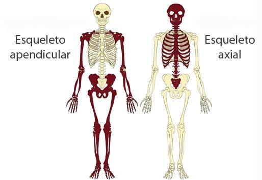 Esqueleto axial y esqueleto apendicular
